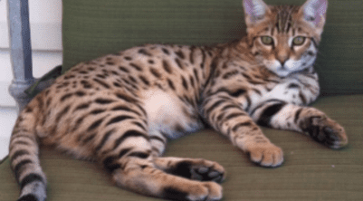 BENGALS AND SAVANNAHS OFFERED BY ABAMBU CATTERY