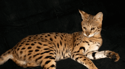 BENGALS AND SAVANNAHS OFFERED BY THOMWREN CATTERY